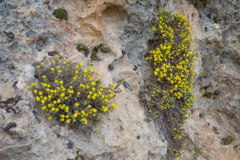 Dionysia revoluta ssp. canescens