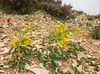 Leontice leontopetalum ssp ewersmanni