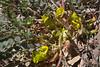 Astragalus cf. angustifolius