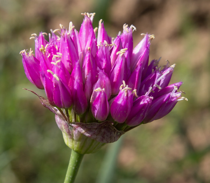 Allium zagricum