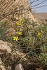 Gagea tenuifolia
