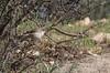 Acrocephalus pallidus ssp. elaecus
