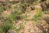 Fritillaria persica and Leontice leontopetalum ewersmanni