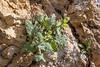Salvia macrosiphon