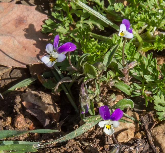 Viola occulta