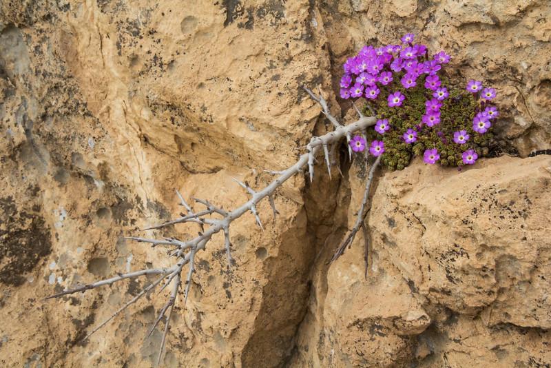 Dionysia mozaffarianii and Amygdalus lycioides shrub