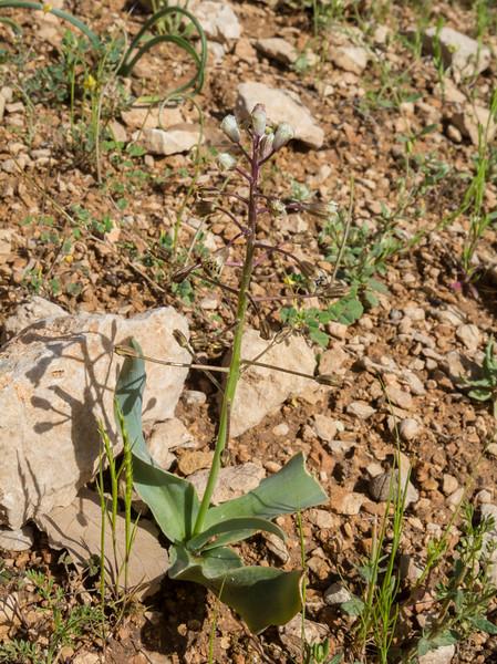Bellevalia longipes