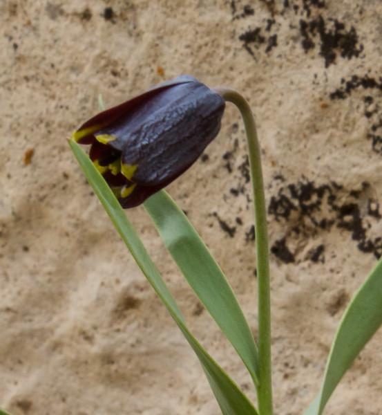 Fritillaria zagrica