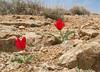 Tulipa stapfii   33
