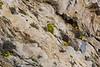 Dionysia iranica and Dionysia revoluta ssp. canescens
