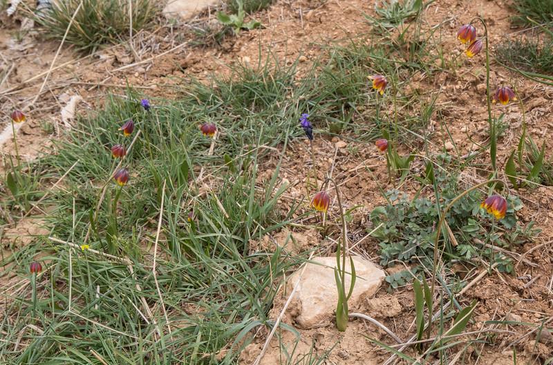 Fritillaria reuteri