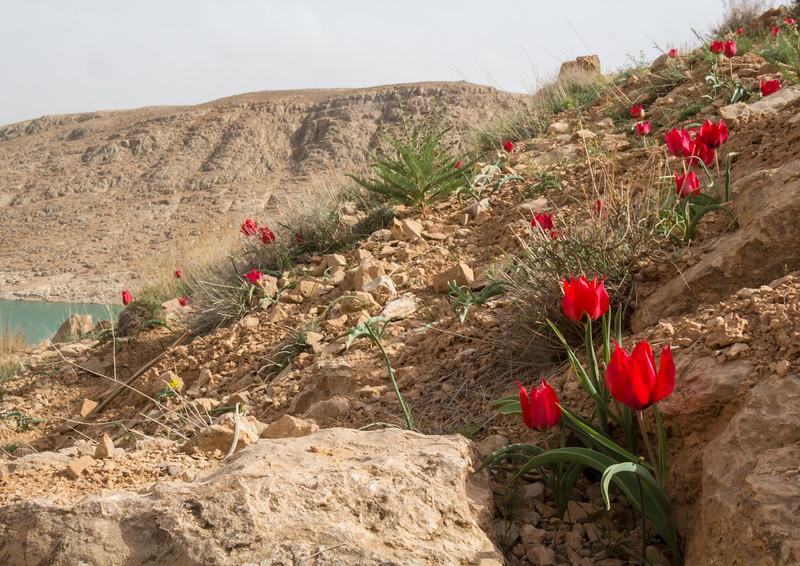 Tulipa stapfii    36