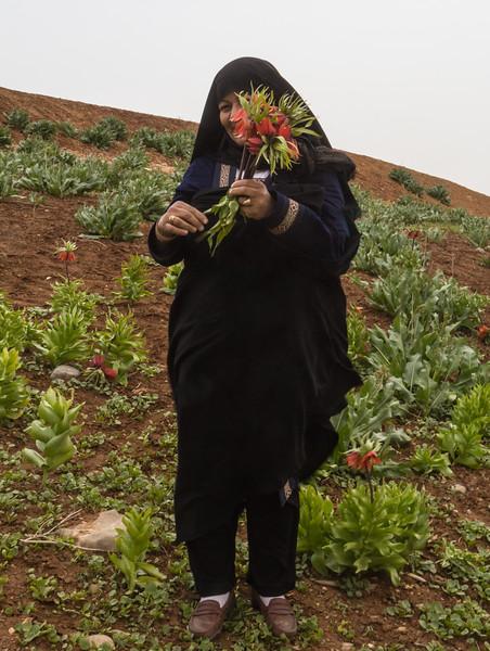 Collecting Fritillaria imperialis