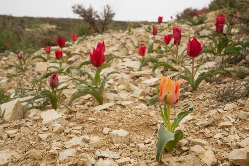 Tulipa systola      68