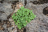 Scutellaria immaculata