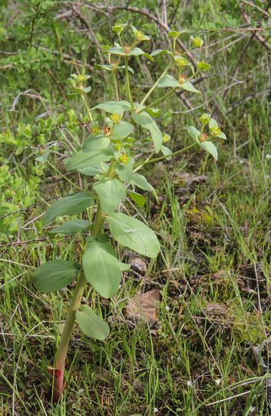 Euphorbia rapulum
