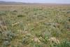 Steppe, habitat of Phlomoides (Eremostachys) labiosa