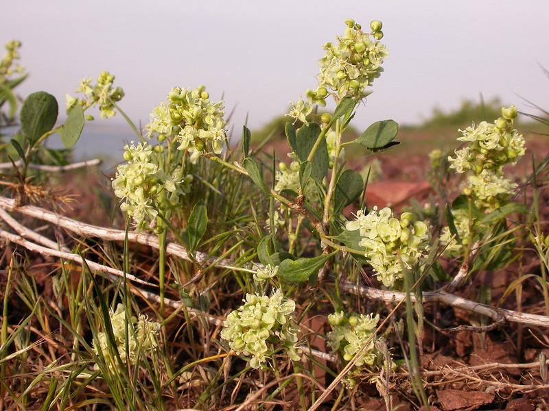 Atraphaxis pyrifolia