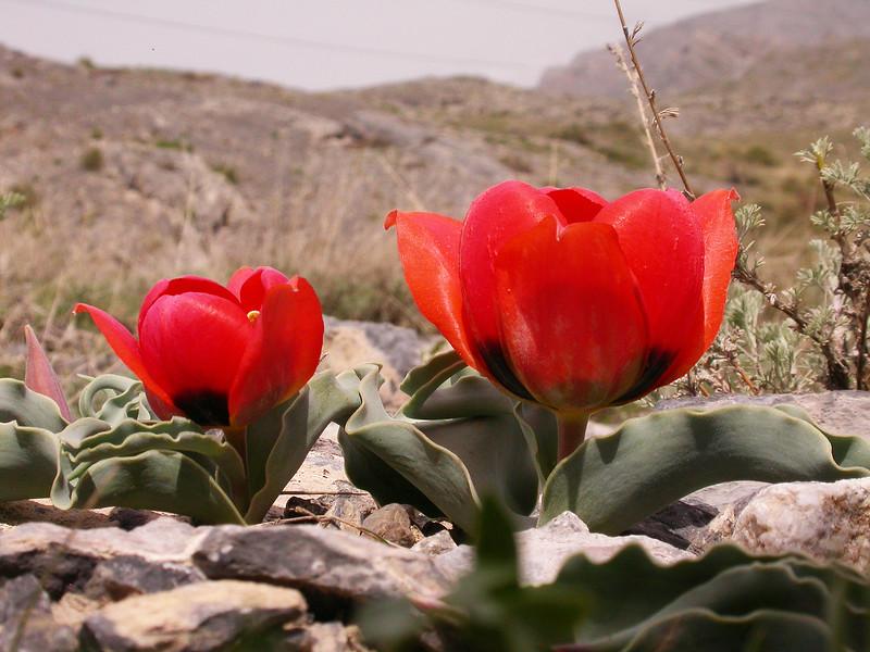 Tulipa alberti (Karatau form)