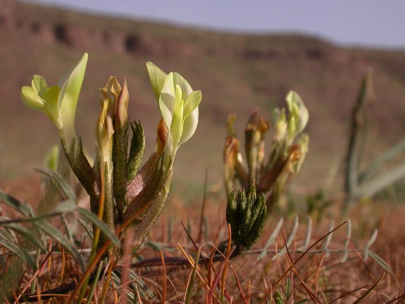 Astragalus lipschitzii