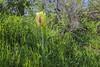 Tulipa kaufmanniana x greigii