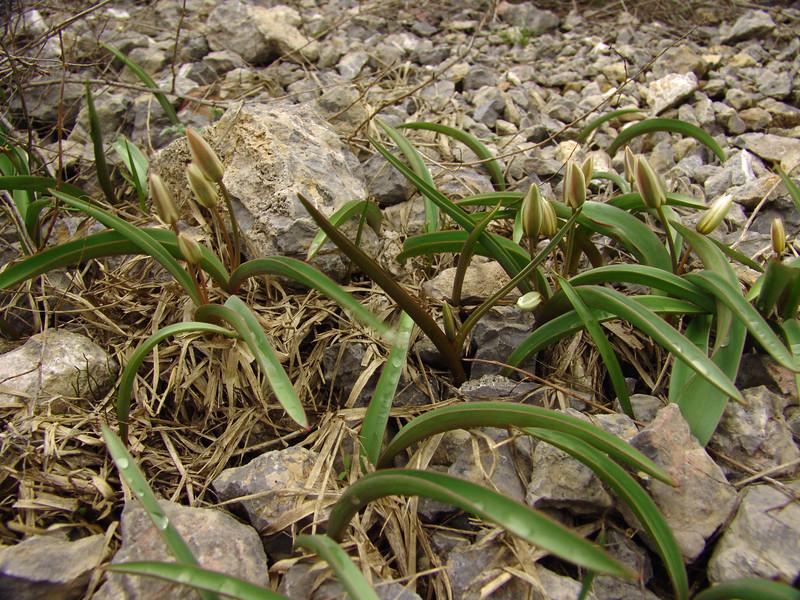 Tulipa orthopoda 4n