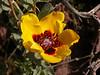 Hulthemia persica