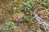 Rana esculente