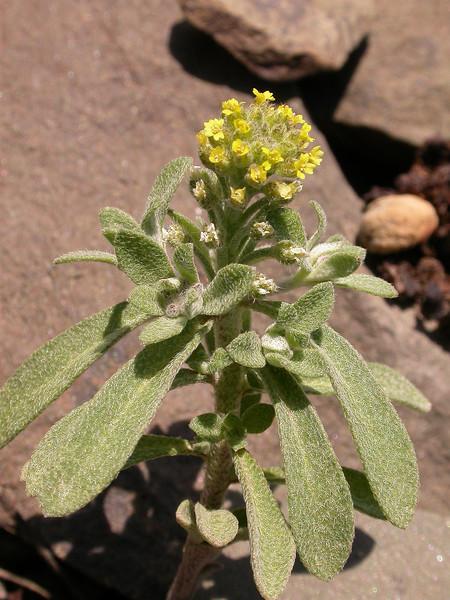 Alyssum szovitsianum