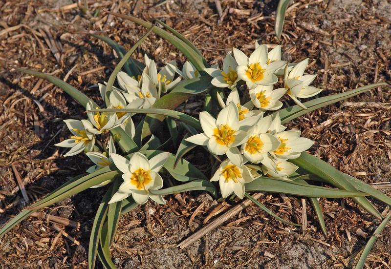 Tulipa bifloriformis