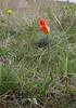 Tulipa kolpakowskiana (red form)