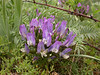 Astragalus fedtschenkoanus