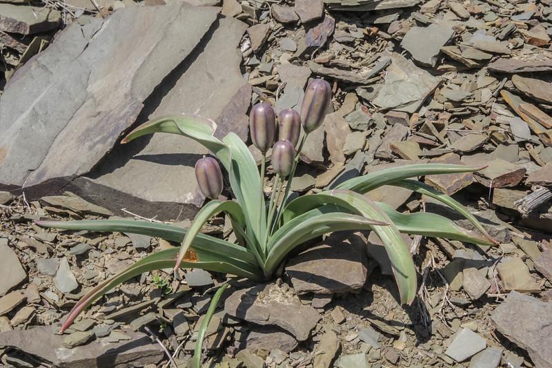 Tulipa orthopoda