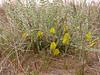 Astragalus balchaschensis