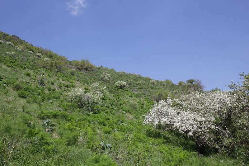 Crambe kotschyana and Pyrus regelii