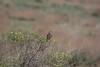 Melanocorypha calandra ssp psammochroa