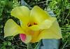 Tulipa greigii