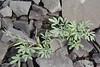 Corydalis schanginii