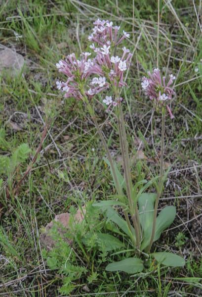 Valeriana chionophila