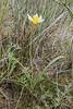 Tulipa buhseana