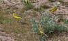 Motacilla flava ssp flava