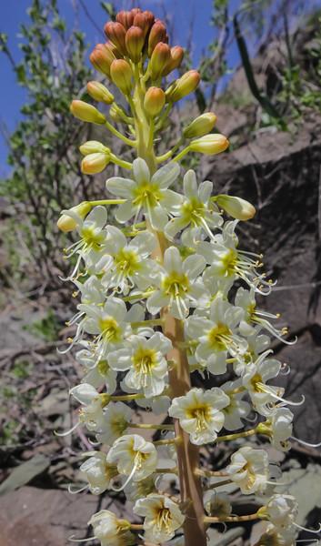 Eremurus lactiflorus