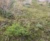Thalictrum isopyroides and  Euphorbia rapulum