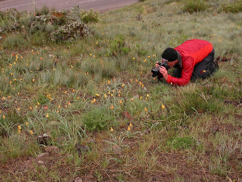 Marijn photographing Tulipa ostrowskiana