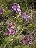 Astragalus skorniakowii