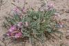 Astragalus lasiophyllus