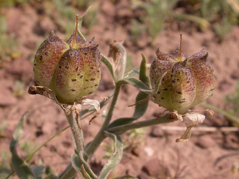 Rhinopetalum karelinii (= Fritillaria karelinii)