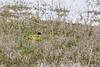 Motacilla flava ssp feldegg