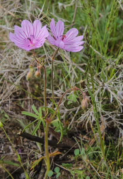 Geranium transversale