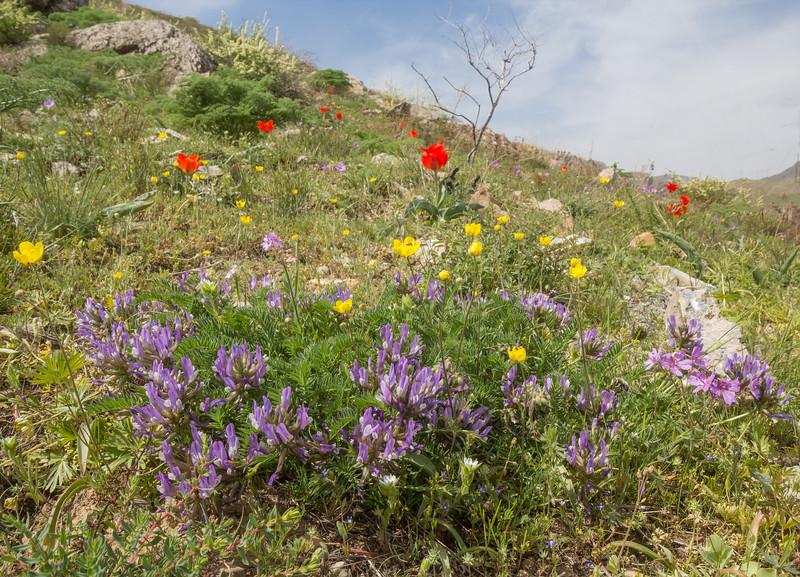 Astragalus skorniakowii and Tulipa greigii